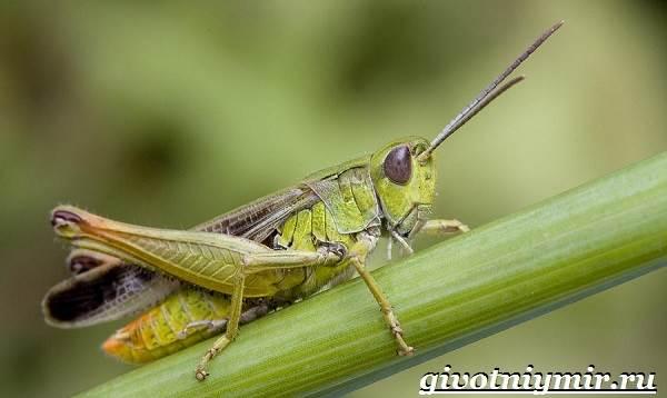 Кузнечик-насекомое-Образ-жизни-и-среда-обитания-кузнечика-1
