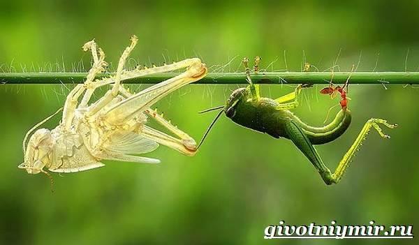 Кузнечик-насекомое-Образ-жизни-и-среда-обитания-кузнечика-10