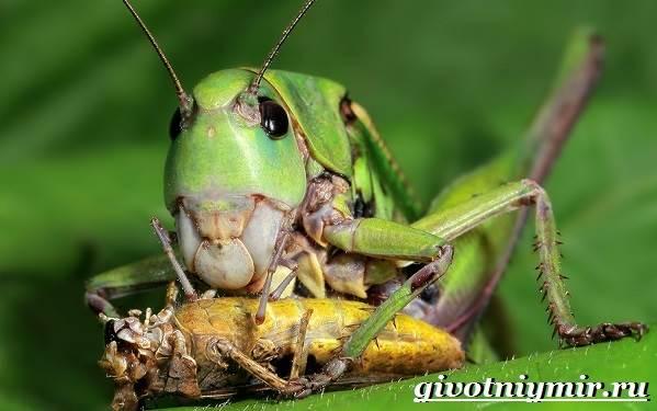 Кузнечик-насекомое-Образ-жизни-и-среда-обитания-кузнечика-11