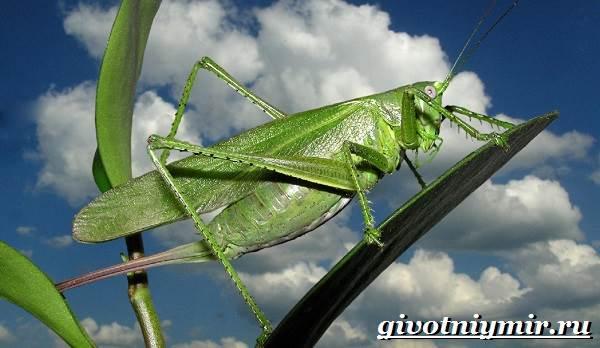 Кузнечик-насекомое-Образ-жизни-и-среда-обитания-кузнечика-5