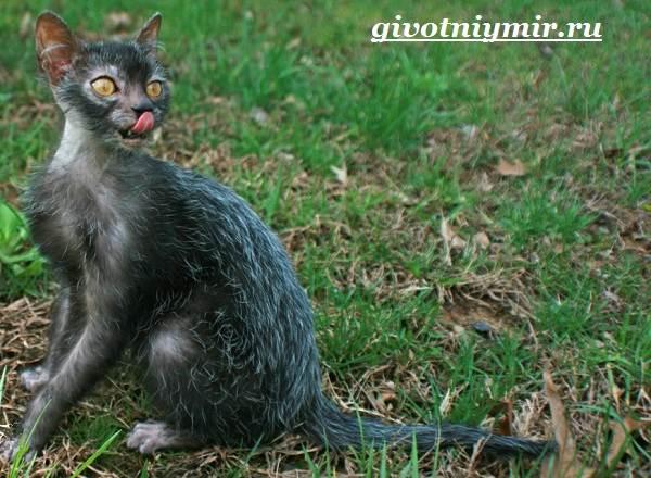 Ликои-порода-кошек-Особенности-цена-и-уход-за-породой-ликои-1