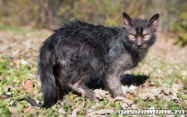 Ликои-порода-кошек-Особенности-цена-и-уход-за-породой-ликои-2