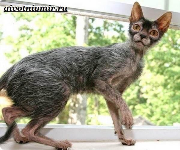 Ликои-порода-кошек-Особенности-цена-и-уход-за-породой-ликои-3