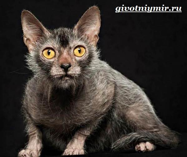 Ликои-порода-кошек-Особенности-цена-и-уход-за-породой-ликои-5