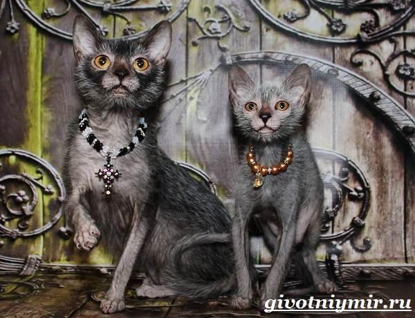 Ликои-порода-кошек-Особенности-цена-и-уход-за-породой-ликои-6