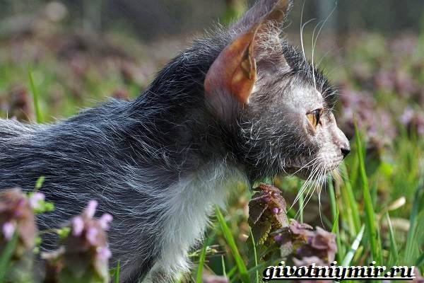 Ликои-порода-кошек-Особенности-цена-и-уход-за-породой-ликои-7
