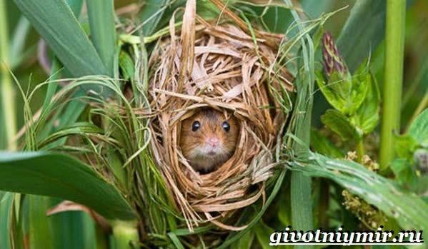 Мышь-животное-Образ-жизни-и-среда-обитания-мышей-2