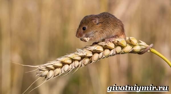 Мышь-животное-Образ-жизни-и-среда-обитания-мышей-3