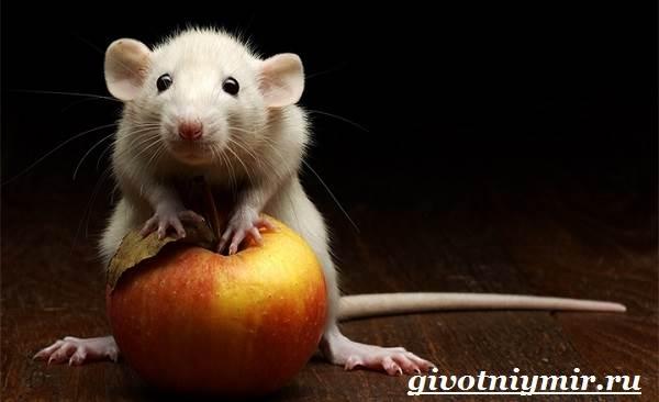 Мышь-животное-Образ-жизни-и-среда-обитания-мышей-4