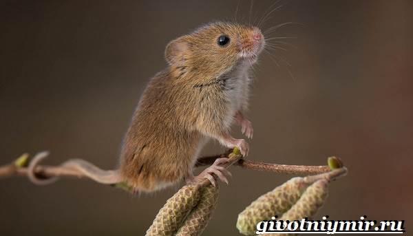 Мышь-животное-Образ-жизни-и-среда-обитания-мышей-5