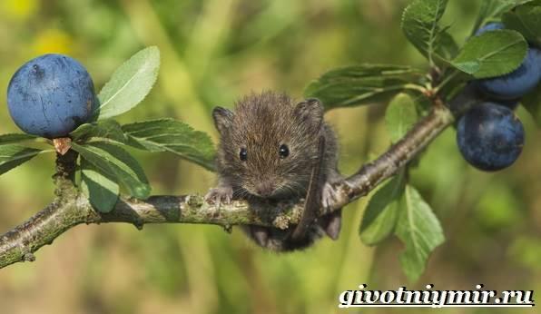Мышь-животное-Образ-жизни-и-среда-обитания-мышей-6