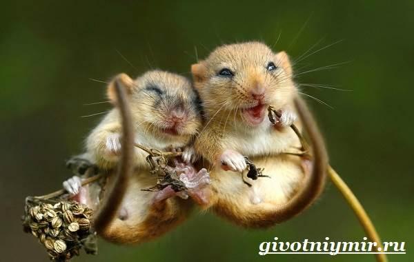 Мышь-животное-Образ-жизни-и-среда-обитания-мышей-7