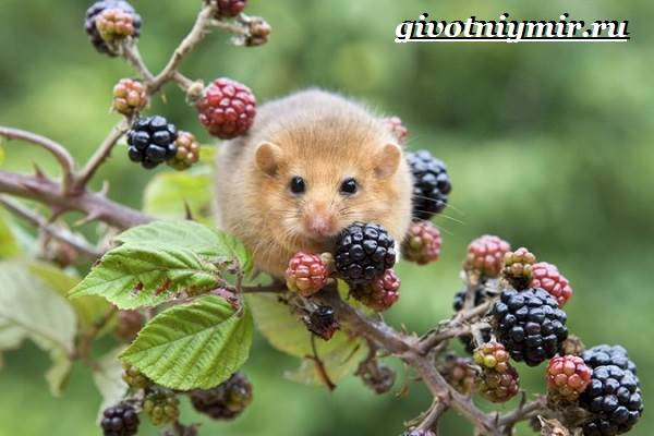 Мышь-животное-Образ-жизни-и-среда-обитания-мышей-8