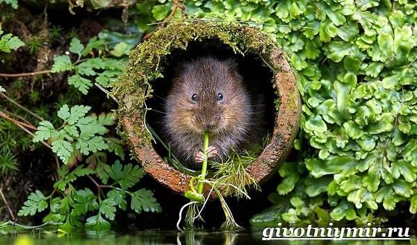 Мышь-животное-Образ-жизни-и-среда-обитания-мышей-9