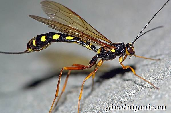 Наездник-насекомое-Образ-жизни-и-среда-обитания-наездника-1