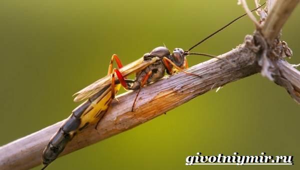 Наездник-насекомое-Образ-жизни-и-среда-обитания-наездника-2