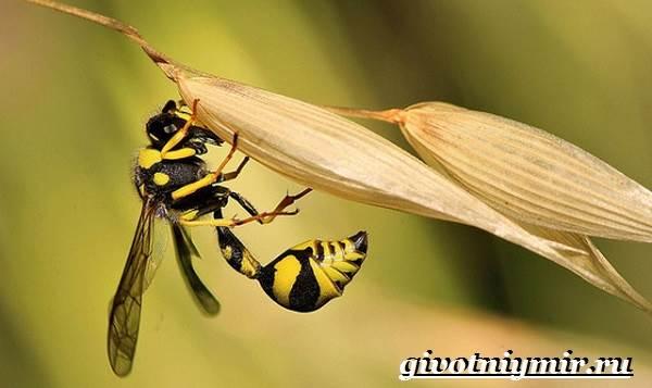 Наездник-насекомое-Образ-жизни-и-среда-обитания-наездника-3