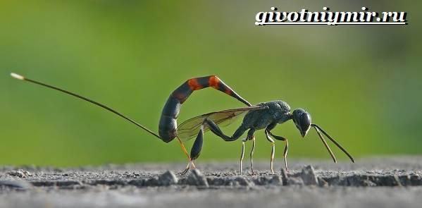 Наездник-насекомое-Образ-жизни-и-среда-обитания-наездника-7