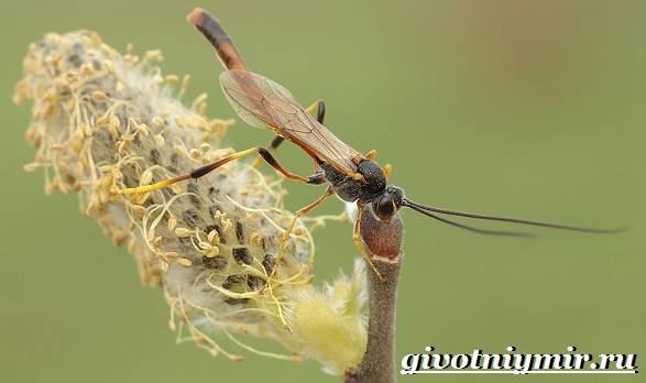 Наездник-насекомое-Образ-жизни-и-среда-обитания-наездника-9