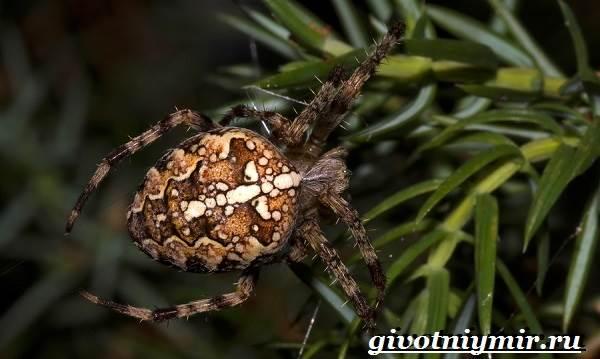 Паук-крестовик-Образ-жизни-и-среда-обитания-паука-крестовика-1