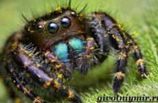 Паук скакун. Образ жизни и среда обитания паука скакуна