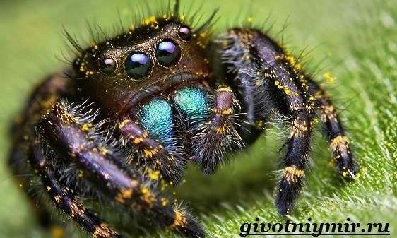 Паук-скакун-Образ-жизни-и-среда-обитания-паука-скакуна-1