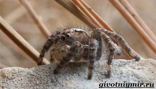 Паук-скакун-Образ-жизни-и-среда-обитания-паука-скакуна-2