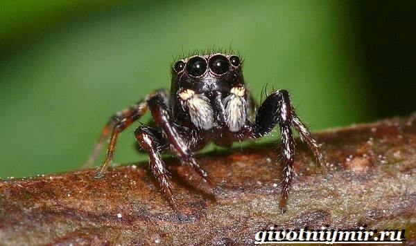 Паук-скакун-Образ-жизни-и-среда-обитания-паука-скакуна-3