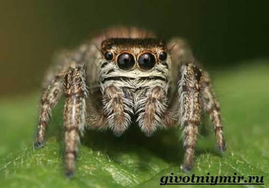 Паук-скакун-Образ-жизни-и-среда-обитания-паука-скакуна-4