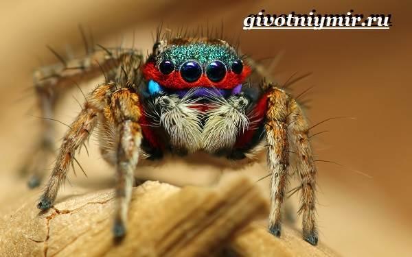 Паук-скакун-Образ-жизни-и-среда-обитания-паука-скакуна-5