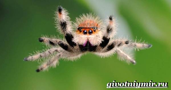 Паук-скакун-Образ-жизни-и-среда-обитания-паука-скакуна-7