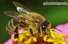 Пчела насекомое. Образ жизни и среда обитания пчелы