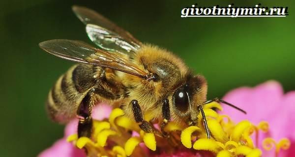 Пчела-насекомое-Образ-жизни-и-среда-обитания-пчелы-1
