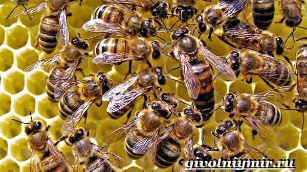 Пчела-насекомое-Образ-жизни-и-среда-обитания-пчелы-4