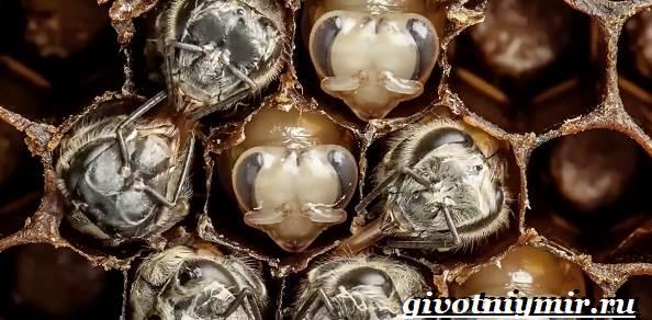 Пчела-насекомое-Образ-жизни-и-среда-обитания-пчелы-6