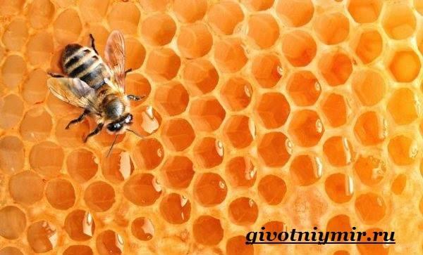Пчела-насекомое-Образ-жизни-и-среда-обитания-пчелы-7