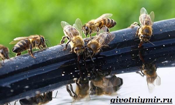 Пчела-насекомое-Образ-жизни-и-среда-обитания-пчелы-8
