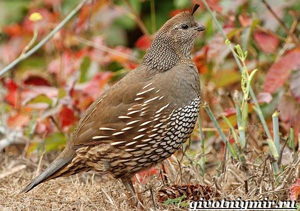 Перепел птица. Образ жизни и среда обитания птицы перепел