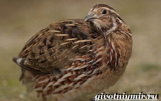 Перепел-птица-Образ-жизни-и-среда-обитания-птицы-перепел-3