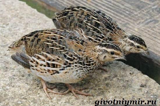 Перепел-птица-Образ-жизни-и-среда-обитания-птицы-перепел-4