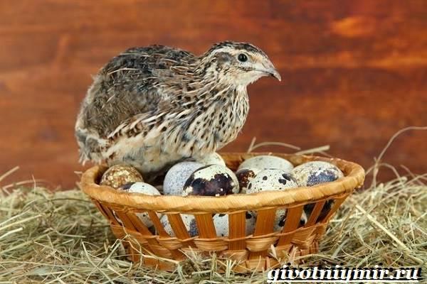 Перепел-птица-Образ-жизни-и-среда-обитания-птицы-перепел-5