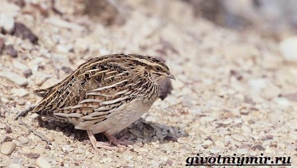 Перепел-птица-Образ-жизни-и-среда-обитания-птицы-перепел-7
