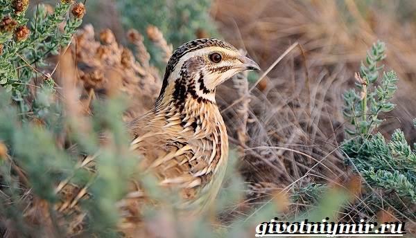 Перепел-птица-Образ-жизни-и-среда-обитания-птицы-перепел-8
