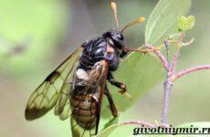 Пилильщик жук. Образ жизни и среда обитания жука пилильщика