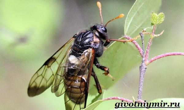Пилильщик-жук-Образ-жизни-и-среда-обитания-жука-пилильщика-4