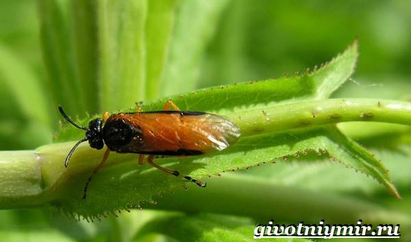 Пилильщик-жук-Образ-жизни-и-среда-обитания-жука-пилильщика-6