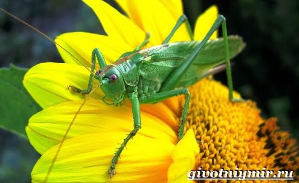 Саранча-насекомое-Образ-жизни-и-среда-обитания-саранчи-2
