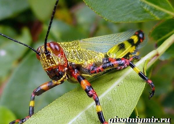 Саранча-насекомое-Образ-жизни-и-среда-обитания-саранчи-3