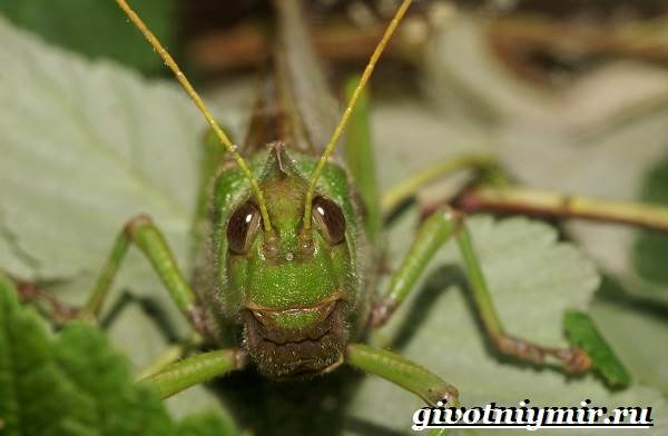 Саранча-насекомое-Образ-жизни-и-среда-обитания-саранчи-4