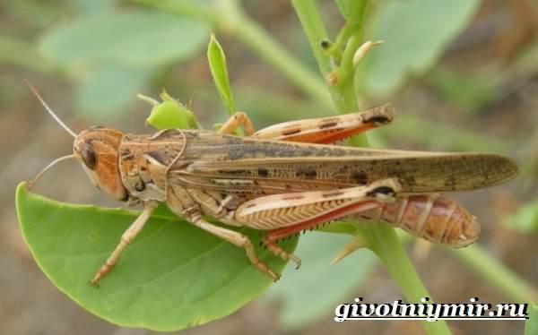 Саранча-насекомое-Образ-жизни-и-среда-обитания-саранчи-5